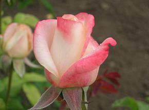 Роза Белла Перла Ч/Г, фото 2