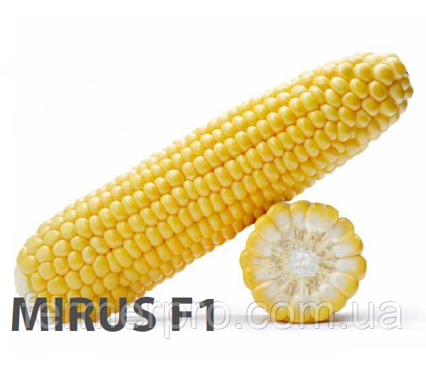 Семена сахарной кукурузы Мирус F1 \ Mirus F1 5000 семян Royal sluis