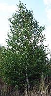 Береза  Бородавчатая. Высота более 3 метров.