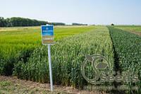 Семена яровой пшеницы сорт Рання 93 (РР-2, протравленная)