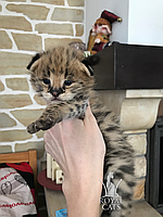 Девочка 05.03.18. Кошечка Сервал, питомник Royal Cats