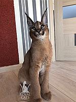 Мальчик 25.12.17. Котёнок Каракал, питомник Royal Cats