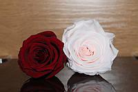 Долгосвежая Стабилизированная Роза: 5.5-6.5 см.