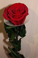 Стабилизированные розы на стебле бутон: 5.5-6.5 см.