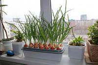 """Прибор для выращивания зеленого лука """"Луковое счастье""""  домашняя чудо грядка"""