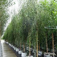 Береза бородавчатая Юнги (Betula pendula Yongii) 220-250 см.