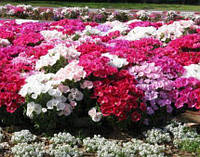 Семена цветов Годеция Красавица лета крупноцветковая смесь, 0,2г