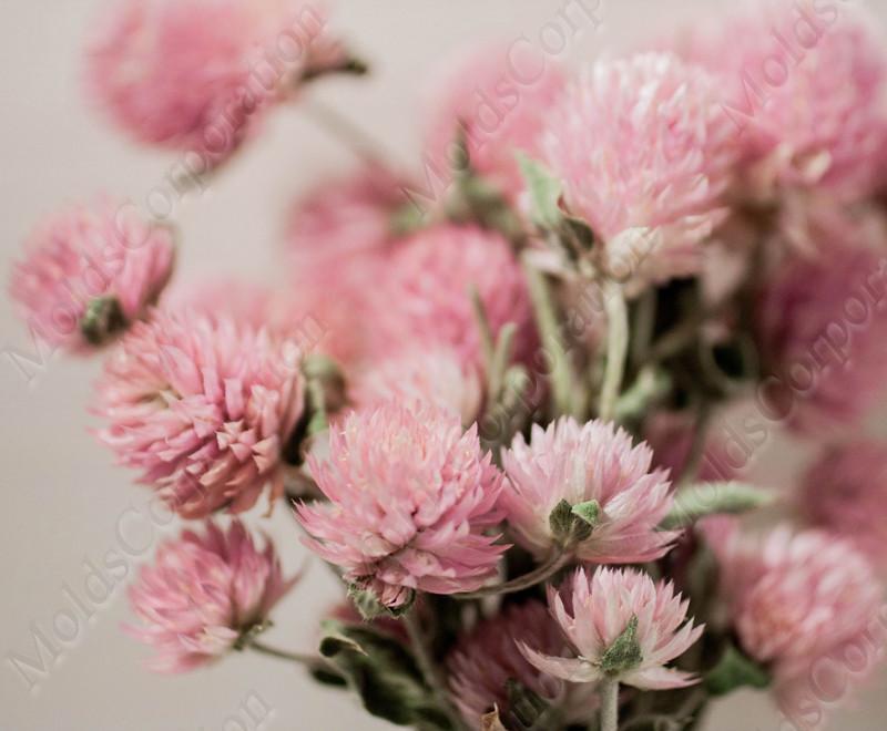 Сухоцветы, гомфрена розовая