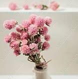 Сухоцветы, гомфрена розовая, фото 3