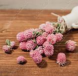 Сухоцветы, гомфрена розовая, фото 4