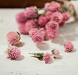 Сухоцветы, гомфрена розовая, фото 6