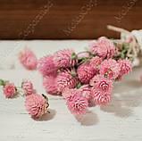 Сухоцветы, гомфрена розовая, фото 2