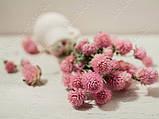 Сухоцветы, гомфрена розовая, фото 8
