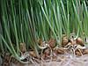 Сок из ростков пшеницы, живой сок.