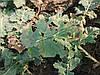 Комплексное удобрение для подкормки озимого рапса Олийный ТМ Ярило. Стимулятор активного роста рапса весной.
