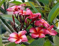 4.Plumeria Soiytuptim семена (2шт)
