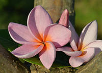 6. Plumeria Purplejack семена (2шт)