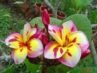7. Plumeria Threeking семена
