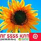 Семена подсолнечника 5555 LG, фото 3