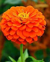 Семена Циния Лилипут Оранжевый 0,5г