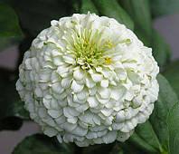 Семена Циния Лилипут Белый 0.5г