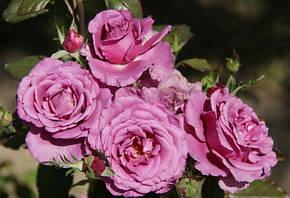 Роза Шокинг блю (Shocking Blue) Флорибунда, фото 2