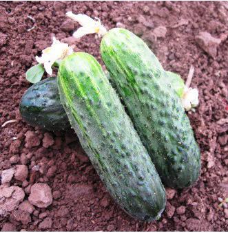 Семена огурца Афина F1, Nunhems 1 000 семян