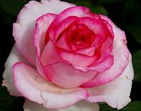 Дольче Віта (Dolce Vita) саджанці троянди чайно-гібридної рожево-білої Dekoplant