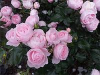 Морсдаг Пінк (Morsdag Pink) саджанці троянди поліантової рожевої Dekoplant
