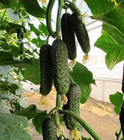 Немо F1 - семена огурца, Nunhems, фото 1