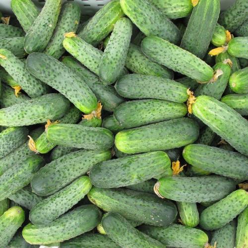 Аякс F1 - семена огурца, Nunhems - 1 000 семян