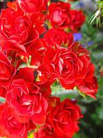 Роза почвопокровная Скарлет Мейландекор (Scarlet Meillandecor)