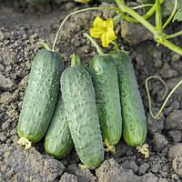 Проликс - семена огурца, Nunhems