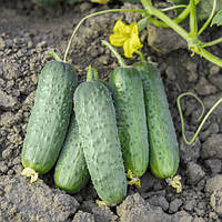 Семена огурца Проликс, 1000 семян, Nunhems