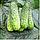 Партенокарпический огурец средний гибрид Циркон F1, семена профупаковка 1000 семян, Nunhems seeds, фото 3