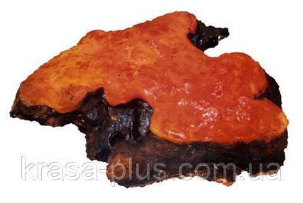 Антродия (Красный камфорный гриб). Лечение рака. Повышение иммунитета