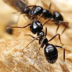 Использование диких муравьев в китайской медицине