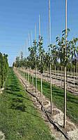 Бамбуковий стовбур, опора діам.22-24мм, L 2,95 м