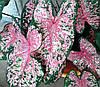 Каладиум Carolyn Whorton - клубни