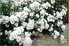 """Почвопокровная роза """"Свани"""" (одна из лучших почвопокровных роз)."""