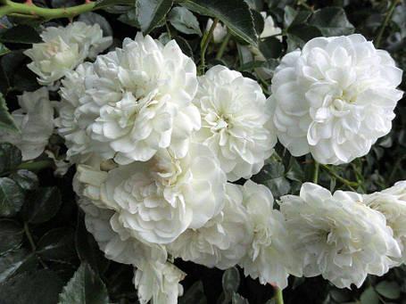 """Почвопокровная роза """"Свани"""" (одна из лучших почвопокровных роз)., фото 2"""