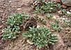 Иерихонская Роза семена, фото 4
