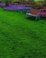 Газонна трава Мітлиця паросткова,30г на5м2