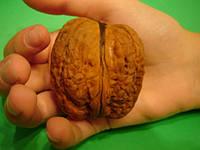 Саженцы  грецкого ореха ЯЦЕК двухлетний