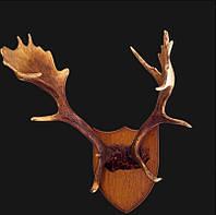 Роскошные рога оленя - украшение стены