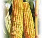 Насіння кукурудза ЕС АСТЕРОЇД ФАО 290