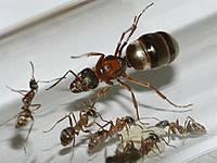 Колония муравье Rufibarbis или краснощекий муравей (11 муравьев)