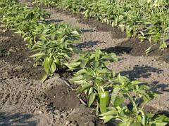 Системы капельного полива, последнее слово в поливе растений
