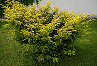 Тис(Elegantissima)