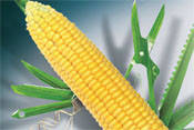 Семена кукурузы Делитоп ФАО 220 (Сингента)